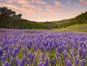 Lupine_meadow_4