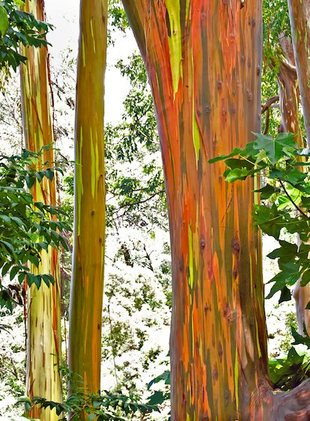 Rainbow_eucalyptus_maui_1
